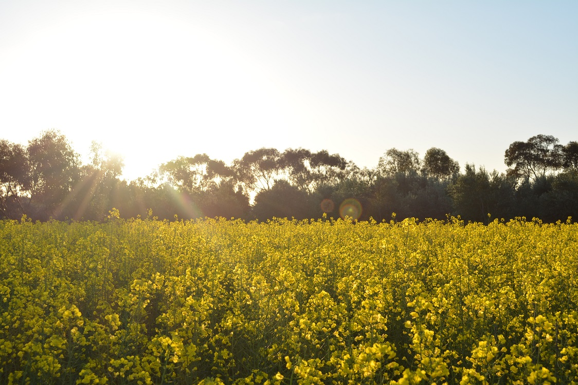 Locations for visitors to view canola